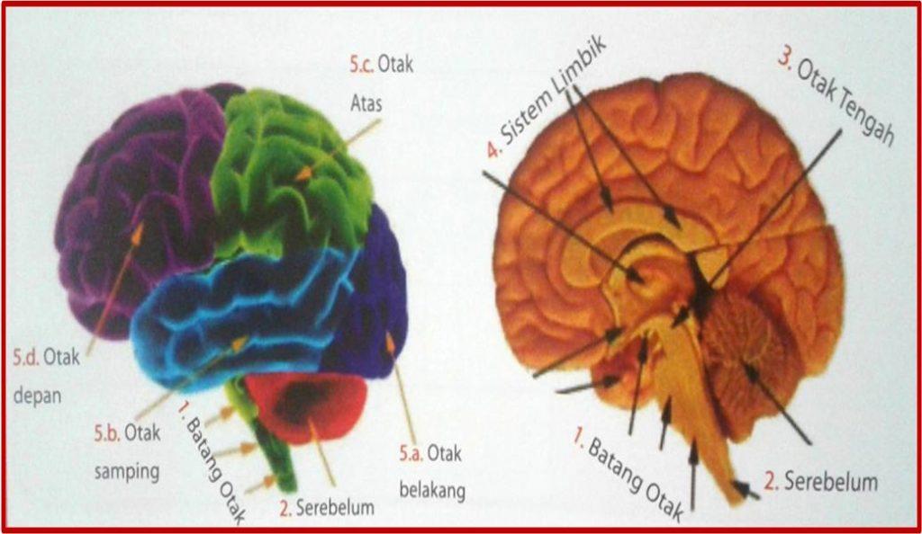 bagian otak dan elemen penting pendukungnya